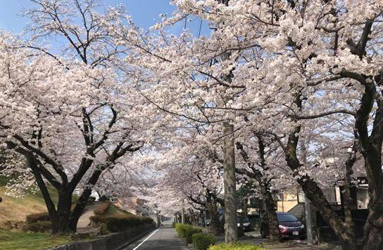 満開の桜並木.jpg